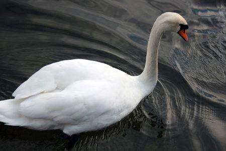 beack: swimming swan in a lake Stock Photo