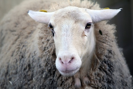 wooly: sheep, a wooly farm animal