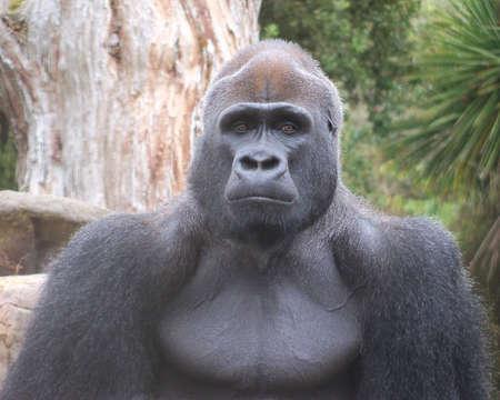 Male Silverback Gorilla Close Up photo