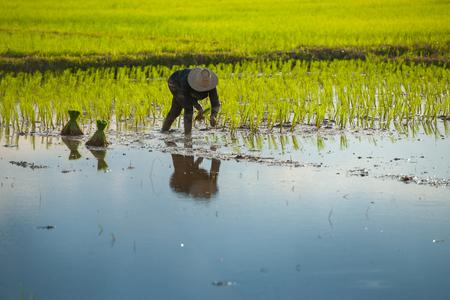 paddy: Thai farmer planting on the paddy rice farmland Stock Photo