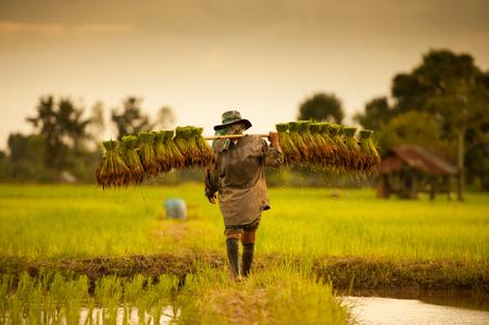 agricultor en los campos verdes de arroz que detienen al bebé. Foto de archivo
