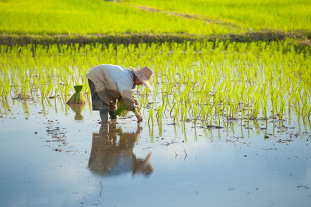 paddy fields: Thai farmer planting on the paddy rice farmland Stock Photo