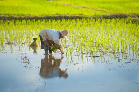 Plantación granjero tailandés en las tierras de cultivo de arroz paddy