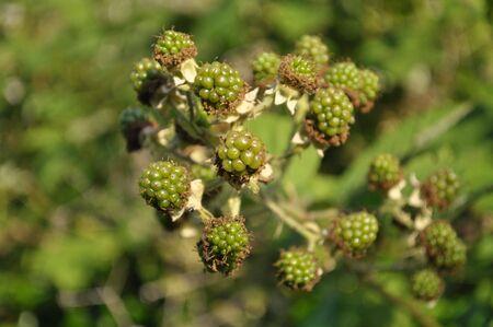 Premature sunlit blackberries