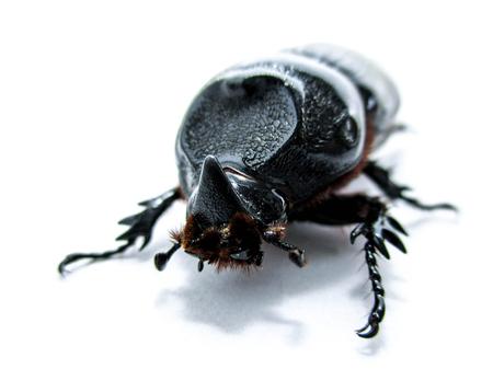 oryctes: Coconut rhinoceros beetle