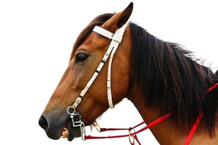 Closeup horse isolated