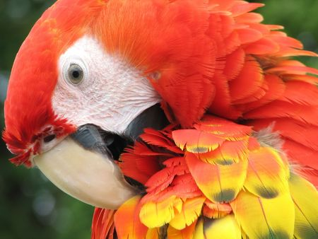 fascinating: Closeup of the face of a scarlet macaw