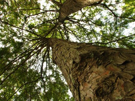 timberland: shot of a tree from bottom to top. Stock Photo