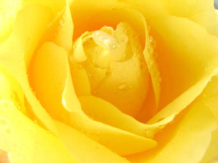 clearness: Macro shot of a yellow rose. Stock Photo