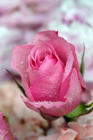 Shot of a sigle pink rose with water drops. Stock Photo
