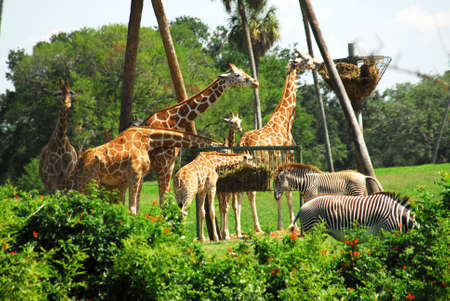 Shot of several giraffes and two zebras eating. photo