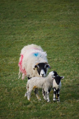 A large female sheep (ewe) painted with blue and red spots, protecting her two small black faced lambs, in a green grass field