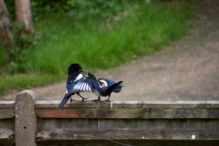 A juvenile magpie, on a fence near an English country lane, is fed a mouthful of worms or grubs by its parent