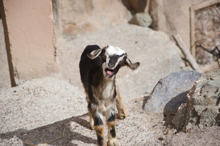 A small African goat in a rocky urban environment opens its mouth and bleats at the camera, looking like its laughing or shouting Stock Photo