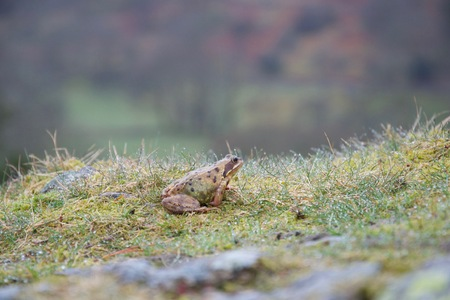 Samll frog or toad in damp grass on the top of a rock, with a mountainous valley in the background