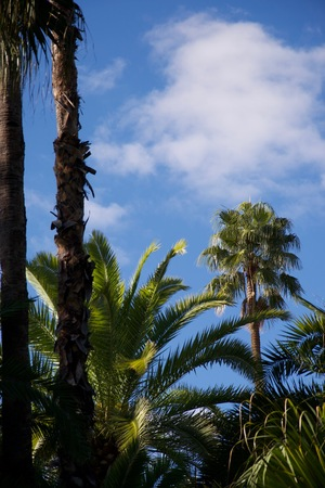 Moroccan palms and plants growing against a bright blue summery sky