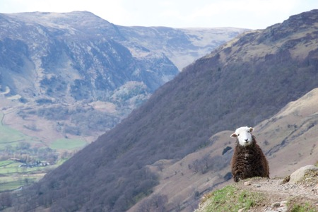 A white faced, brown wool sheep stares at the camera, blocking a path around a mountain valley like a silly animal highwayman