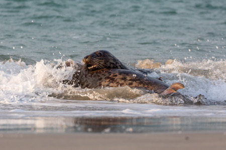 Playing and mating gray seals in the north sea Stock Photo