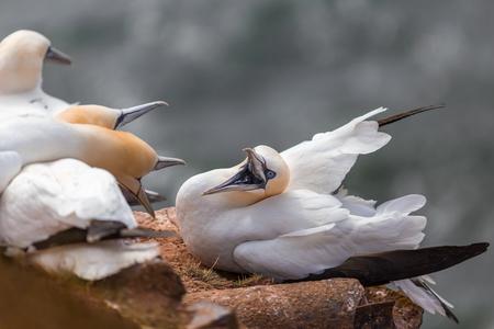 Northern gannet 스톡 콘텐츠