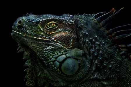 녹색이 구 아나는 중앙, 남미, 카리브해에 속한이 구 아나 속의 도마뱀의 큰, 교목, 주로 초식 동물 스톡 콘텐츠