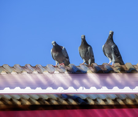 Three curious peace birds isolated on blue sky  The nests of doves are usually made of sticks  Their eggs are incubated by both the male and the female parent  Doves feed on seeds, fruit and plants