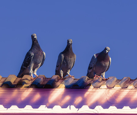 Three curious pigeons isolated on blue sky.  Stock Photo