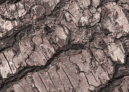 Bark of Pine tree lit by late sunlight. Pine resin burns readily, making it perfect for fire fuel or for rendering into pitch to tip the ends of wooden torches. Stock Photo