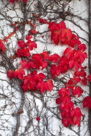 Climbing Ivy with red leaves in autumn on the wall Stock Photo