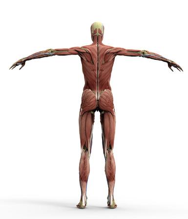 Anatomie Einer Frau Auf Weiß Mit Clipping-Pfad. Lizenzfreie Fotos ...
