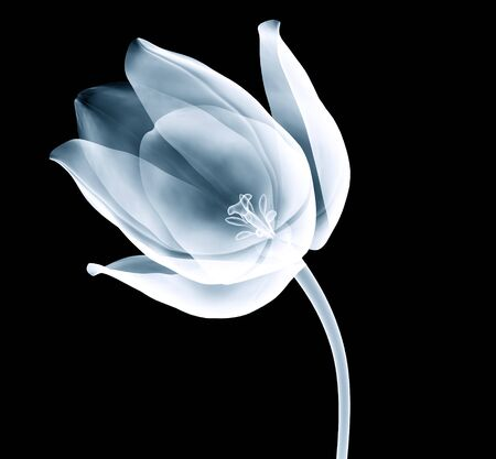 xray image of a tulip flower isolated on black with clipping path