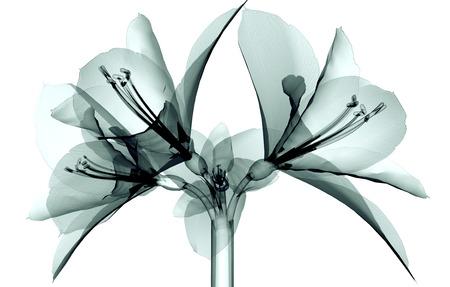 röntgen image of a flower isolated on white, the Amaryllis