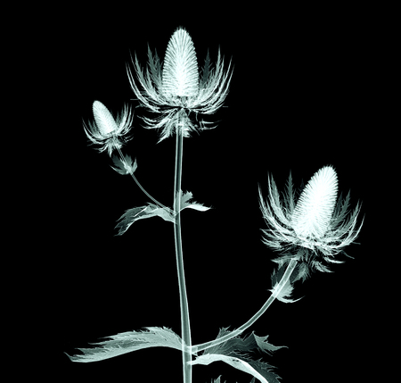 röntgen image of a flower  isolated on black , the sea holly 版權商用圖片