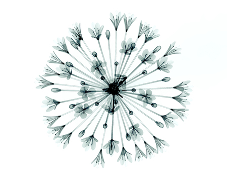 Röntgen Bild einer Blume isoliert auf weiß, die Bell Agapanthus Standard-Bild - 46802587