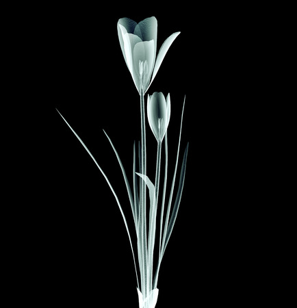 röntgen image of a flower  isolated on black , the crocus 版權商用圖片