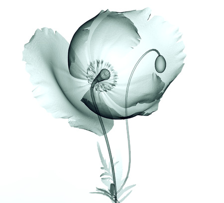 röntgen image of a flower isolated on white, the Papaveroideae