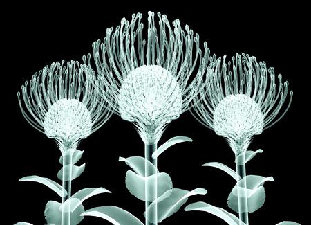 nodding: röntgen image of a flower  isolated on black , the Nodding Pincushion