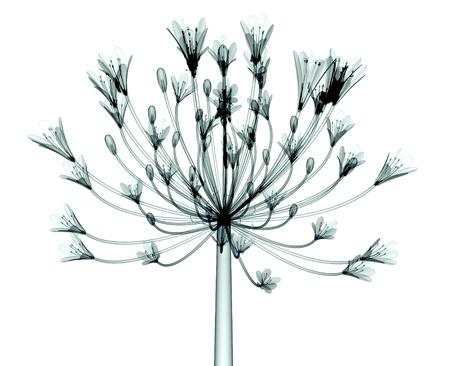 röntgen image of a flower isolated on white, the Bell Agapanthus Banco de Imagens