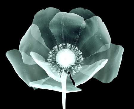 röntgen image of a flower  isolated on black , the Papaveroideae