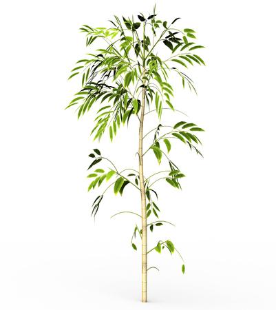 white back ground: Bamboo tree isolated on white back ground