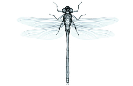 xray image of an insect isolated on white with clipping path. 版權商用圖片