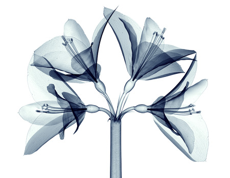 radiogram: x-ray image of a flower  isolated on white, the Amaryllis 3d illustration Stock Photo