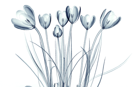 x-ray image of a flower  isolated on white, the crocus 3d illustration 스톡 콘텐츠