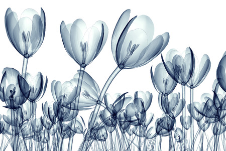 x-ray image of a flower  isolated on white, the crocus 3d illustration 版權商用圖片