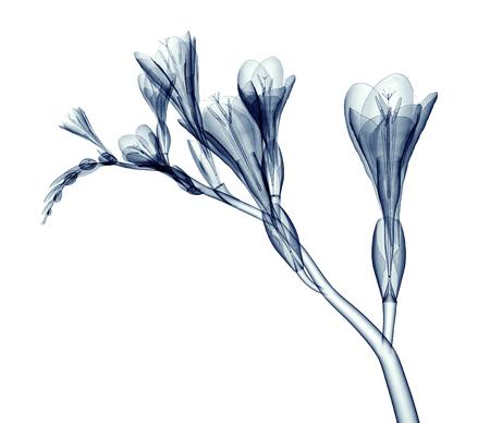 Röntgenbild einer Blume auf weißem Hintergrund, die Freesie 3D-Darstellung Standard-Bild - 56873712
