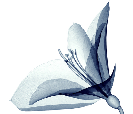 x-ray image of a flower  isolated on white, the Amaryllis 3d illustration Banque d'images