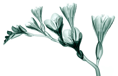 x-ray image of a flower  isolated on white, the Freesia 3d illustration