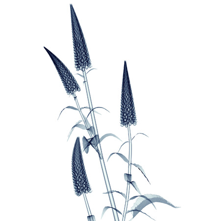radiogram: x-ray image of a flower  isolated on white, the Gooseneck Loosestrife  3d illustration