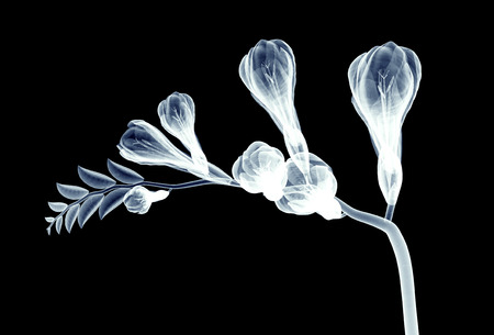 roentgenogram: x-ray image of a flower  isolated on black , freesia 3d illustration