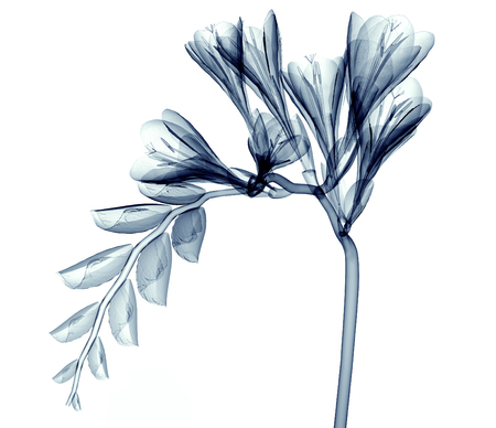 roentgenogram: x-ray image of a flower  isolated on white, the Freesia 3d illustration