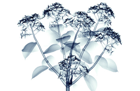 radiogram: x-ray image of a flower  isolated on white, the hortentia 3d illustration